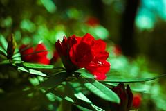 Clyne Gardens (vinujoseph1) Tags: flowers pinkflower clynegardens clyne garden swansea gower wales