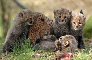 cheetah Beekse Bergen BB2A6736