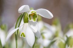 Perce-neige (Galanthus nivalis) (aurelien.ebel) Tags: alsace basrhin france lawantzenau perceneige