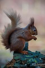 Sitting on the edge (R0BERT ATKINSON) Tags: redsquirrel derwentreservoir powhill durham wildlife countryside robatkinsonphotography nikond5100 northeastengland nature