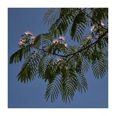 The Piggery Cafe (phunnyfotos) Tags: phunnyfotos australia victoria vic melbourne sherbrooke dandenongranges dandenongs thedandenongs tree flower flowers flowering autumn bluesky foliage piggerycafe burnhambeeches alfrednicholasmemorialgardens nikon d750 nikond750 lookingup fff garden park pink frame border mimosa