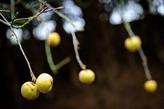 Forgotten... (NathalieSt) Tags: garden apple apples tree fruit fruits jardin pomme pommes