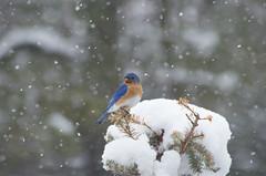 April 1st (Bud in Wells, Maine) Tags: spring maine snowstorm snow bluebird backyard birds bokeh