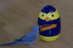 Easter Parrot (S♡C) Tags: parrot easter blue bird easteregg