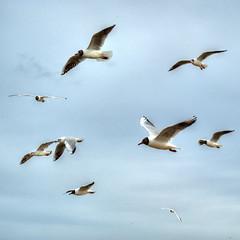 216DKN_6666__Q_B (sigkan) Tags: möven ostsee vögel