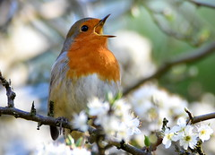 Blossom song. (pstone646) Tags: robin bird animal wildlife nature flora fauna flowers tree blossom closeup ashford kent bokeh singing sunshine spring ngc