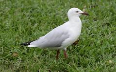 Silver Gull (chroicocephalus novaehollandiandiae) (mrm27) Tags: australia queensland northernqueensland townsville gull silvergull chroicocephalus chroicocephalusnovaehollandiae