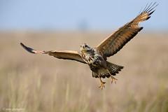 _NGR0131aguilucho-colorado (ninograngetto@hotmail.com) Tags: aves argentina nikon naturaleza birds vuelo