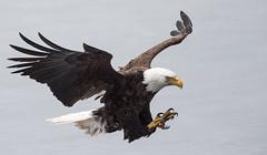 IMG_6312 Bald Eagle (Wallace River) Tags: aboiteau baldeagle bito icefishing wallacebay