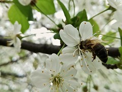 Carpe diem (Alessio Bertolone) Tags: bee ape nature natura fiori flowers ciliegio cherry bokeh profonditàdicampo trentino italy it italia clouseup albero tree depthoffield