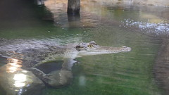 I'm waiting (chappell.nancy -) Tags: crocodile water nature wild canberra panasonic reptile ancient