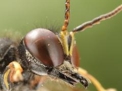 Ectemnius cavifrons (Scrubmuncher) Tags: ross piper
