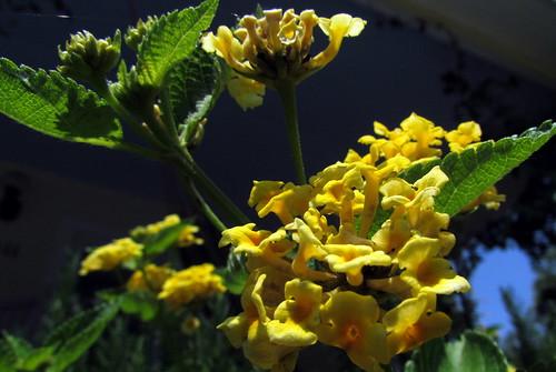 30 Flower Harkers Island NC NC  9725