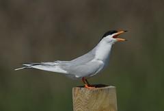 Forster's Tern (Mark Schwall) Tags: birds newjersey nikon nj perched manualfocus atlanticcounty terns forsterstern sternaforsteri edwinbforsythenwr avianexcellence oceanville d300s nikkor600mmais