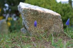 flowers (lucymayday) Tags: flowers plants nature garden gardening grape hyacinthus hyacinths hiacinthus