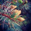 Pine Buds (BenRogersWPG) Tags: park summer plant canada macro tree nature beautiful leaves pine river outdoors spring colorful winnipeg branch natural samsung manitoba sharp seeds note growth evergreen pineneedles galaxy needle scales buds bud needles prickly android osborne conifer fortrouge osbornevillage pinebuds instagram samsunggalaxynote