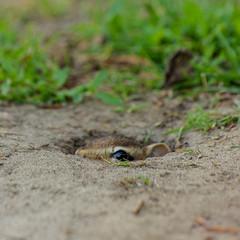 Chipmuck ICU-0430 (RG Rutkay) Tags: animal landscape head peeking edwardsgardens chipmuck nestentrance