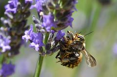 Summer love (Lolo_) Tags: hot macro love sex couple dof bees having lavande abeilles 2014