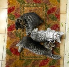 Tenderness (Daydreaming°°) Tags: pet cats cute animal sweet kittens felini gatti coccole gattini dolcezze