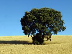 Quercus rotundifolia Lam. 1785 (FAGACEAE) (helicongus) Tags: spain quercus fagaceae quercusrotundifolia