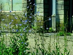 Weeds On Main II (2bmolar) Tags: weeds mainst schuylkillcounty