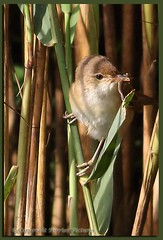 Reed Warbler with young to feed (gladysperrier@btinternet.com) Tags: summer lake reed birds canon eos feeding wildlife young wetlands pastures berkshire warbler dinton 70d lavells