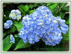 Blue Hydrangea macrophylla 'Endless Summer' showing off! (jayjayc) Tags: flowers blue plants malaysia kualalumpur shrubs hortensia tropicalgarden bigleafhydrangea mopheadhydrangea frenchhydrangea jjsgarden jayjayc hydrangeamacrophylla'endlesssummer'