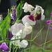 Pois de senteur, Walled Garden, Glamis Castle, comté d'Angus, Ecosse,Grande-Bretagne, Royaume-Uni.