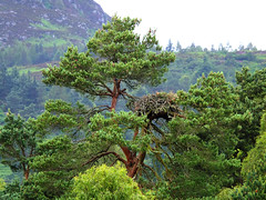 Nest (tubblesnap) Tags: trees nature beautiful beauty pine scotland scenery nest reserve loch lowes osprey
