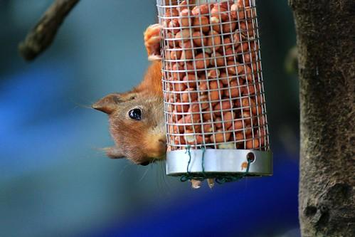 Red Squirrel, Arran
