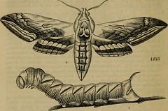 Anglų lietuvių žodynas. Žodis celtis australis reiškia <li>celtis australis</li> lietuviškai.