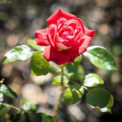 DSCF4972 (Patrick Mouret) Tags: flowers fujixpro1 fujinonxf56mmf12r