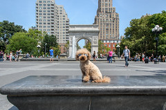 Teddy at the Washington Square Park (bebbiemouse) Tags: newyork fountain village unitedstates teddy poodle caniche