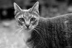...tranquille... (fredf34) Tags: portrait blackandwhite bw white black chat noiretblanc pentax gato ricoh k3 fredf gaa fredf34 pentaxk3 ricohpentaxk3 fredfu34 pentax50mmf18smcda