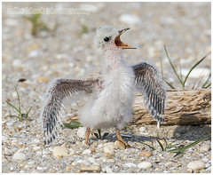 Least Tern spreads wings (Mike Black photography) Tags: new baby black bird beach mike nature birds canon big babies year birding young nj aves shore jersey chicks belmar least tern facebook