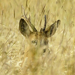 Portrait, Roe Deer, Severn Valley, Gloucestershire thumbnail