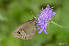 Erebia aethiops (alfvet) Tags: macro nikon ngc butterflies npc insetti valsesia farfalle sigma150 veterinarifotografi d5100