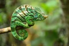 Parson's chameleon, Calumma parsonii cristifer (the-moof) Tags: travel nature rainforest lizard chameleon madagascar parsonii calumma calummaparsonii