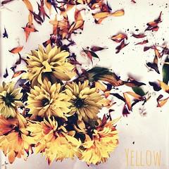 Yellow. | Gelb.  #weekend #flower #blume #gelb #yellow #enjoy #like #love #iggood #instanice #instaflower #igflower #summer #sun