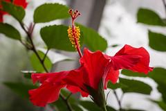 red hibiscus (jojoannabanana) Tags: red flower color macro dof bokeh hibiscus lambertonconservatory