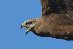 Black Kite, on a warning run.