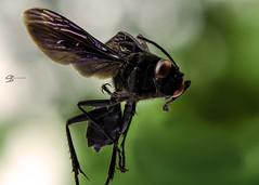 Knight Rider (Christopher Bergman) Tags: blackbee nikkor105mm waspmacro macrowasp beemacro macrobee blackwasp chrisbergman christopherbergman beewithpurplewings
