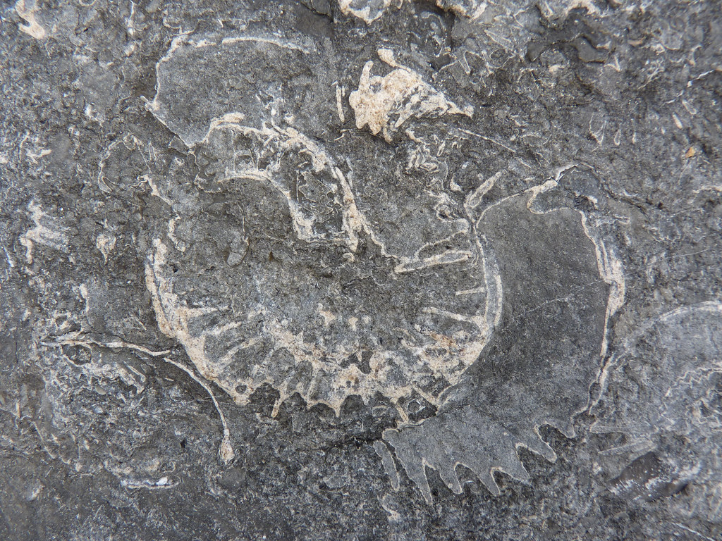 Ammonite at Monmouth Beach_2
