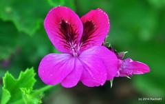 DSC_0092 (rachidH) Tags: flowers nature island blossoms hellas greece blooms geranium kefalonia karavomylos rachidh