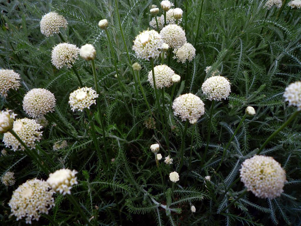 Santolina pinnata subsp. neapolitana 'Edward Bowles'