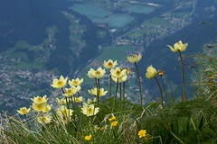Pulsatilla alpina (imanh) Tags: flower alpina anemone alpine bloem iman pulsatilla anemoon heijboer imanh alpenanemoon