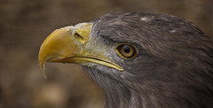 Sea eagle - Seeadler (pe_ha45) Tags: adler raptor seaeagle greifvogel whitetailedeagle seeadler haliaeetusalbicilla pigargoeuropeo grandaigledemer aiglebarbu pyargueàqueueblanche