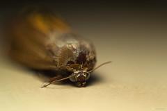 Moth (havelzb) Tags: macro nikon moth ring reverse mra d3100 reverznkrouek