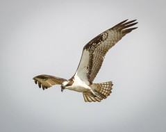 Osprey Fishing (tresed47) Tags: birds us pennsylvania content places folder osprey takenby chestercounty 2014 peterscamera petersphotos canon7d extonpond 20140831extonpondmisc