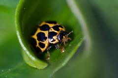 Australian Ladybird Beetle (sunphlo) Tags: beetle australian ladybird southaustralia coleoptera fleurieupeninsula coccinellidae muehlenbeckiagunnii